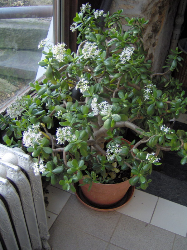 how to get a jade plant to bloom