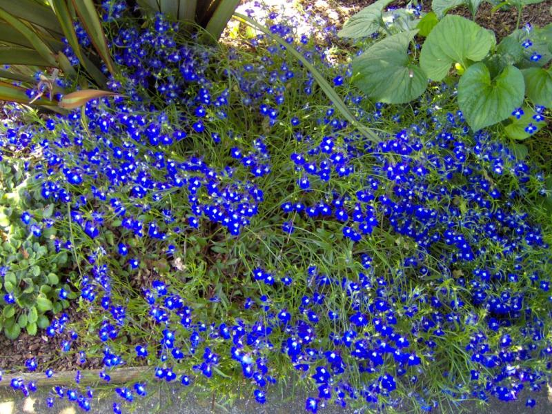 Blue flowers for garden blue flowers by garden gnome on - Plants with blue flowers a splash of colors in the garden ...